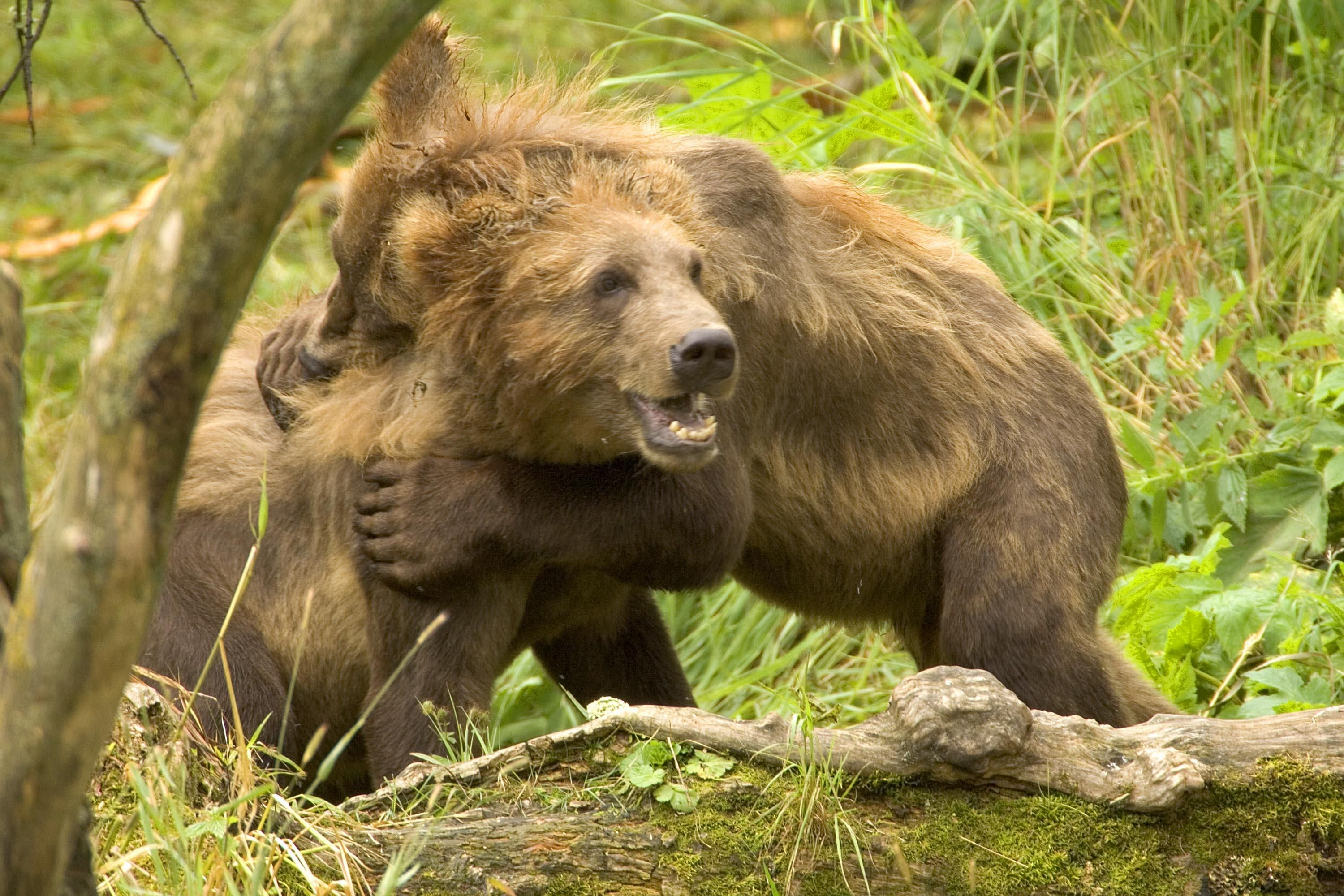 Free picture: brown bear, cubs, play
