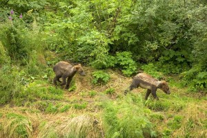 brown bear, cubs, running, brush