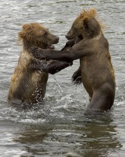 brown bear, cubs, wrestling