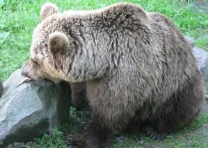 brown bear, eating, fish