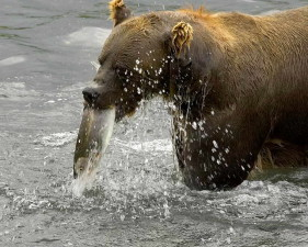 brown bear, eating, fish, river