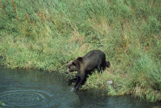 brown bear, entering, creek, deep, grass, covered, bank