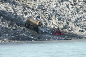 ours brun, l'entrée, la pêche, la zone