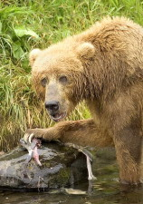 brown bear, feeding, salmon, fish, ursus arctos