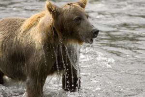 ours brun, femme, eau