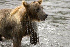 brown bear, female, water