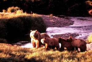 brown bear, female, cubs