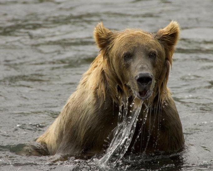 brown bear, fishing