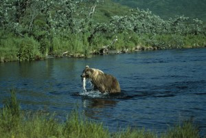 brown bear, fishing, ursus middendorffi