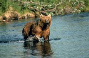 brown bear, dog, salmon, creek