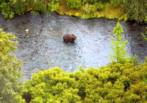 brown bear, Russian, river