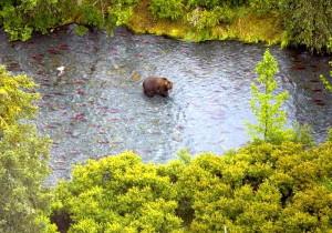 Braunbär, Russisch, Fluss