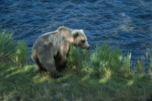 brown bear, mammal, ursus middendorffi