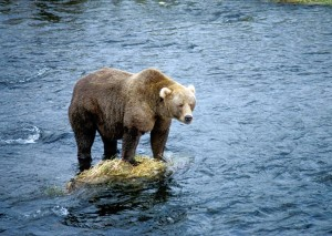 brown bear, rock, river