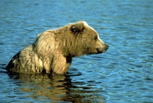 brown bear, relaxes, shallow water