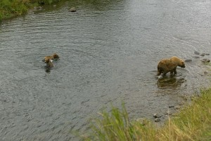 brown bear, sow, two, cubs, river