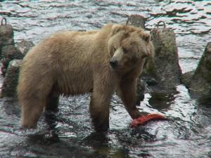 brown bear, sow, salmon, ursus arctos