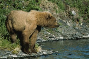 brown bear, standing, river, bank, ursus middendorffi