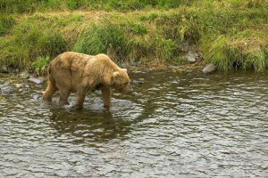 brown bear, stroll, river, edge