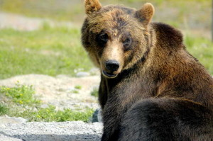 brown bear, ursus arctos, big bear