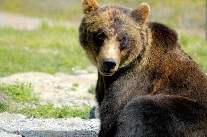 brown bear, ursus arctos, big bear