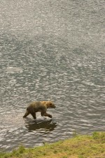 brown bear, wades, water