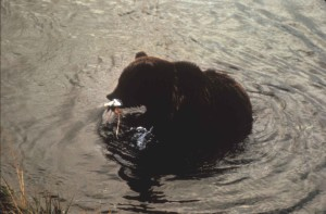 brown bear, fish