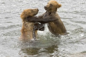 brown bears, cubs, play, water