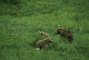 el oso pardo, Ursus middendorffi