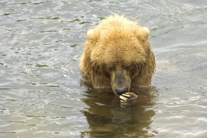 up-close, brown bear, water