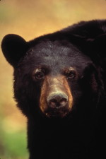 up-close, American, black bear, face