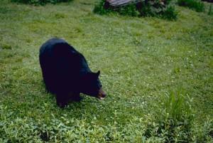 in via di estinzione, orso nero, animale