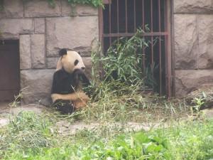 feeding, panda