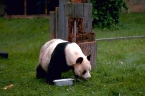 giant, panda