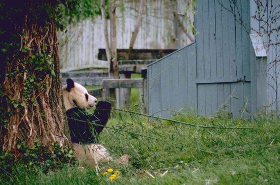 gigante, panda, animale