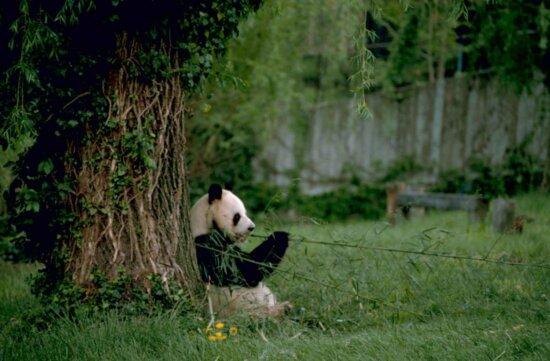 gigante, panda, in via di estinzione, specie