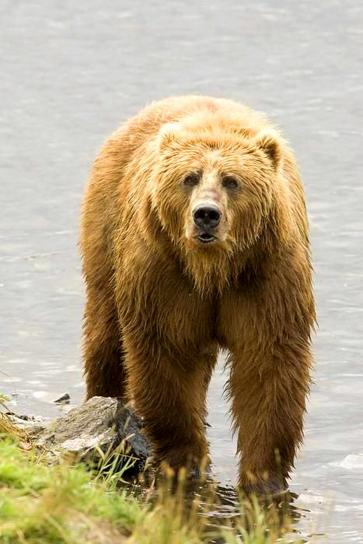 grizzly, bear, brown, bear