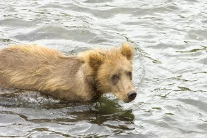 grizzly bear, cub, standing, water