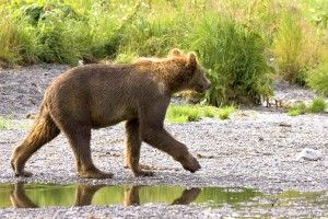 grizzly bear, cub, walking, brown bear