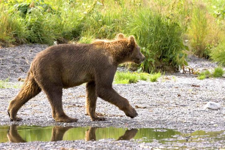 grizzly bear, cub, walking, brown bear