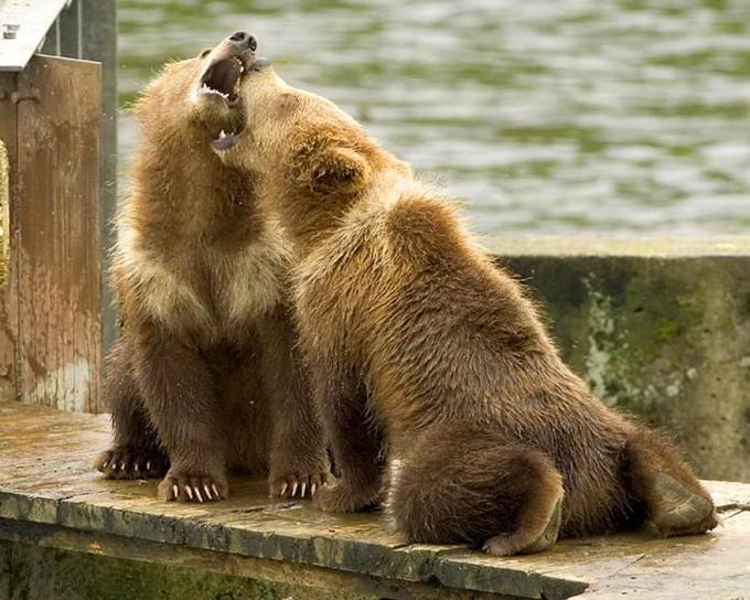 grizzly bear, cubs