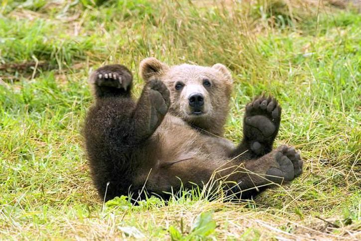 grizzli, Kodiak, désert, refuge