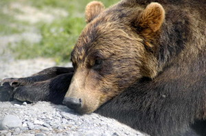 grizzly bear, lying, head, down