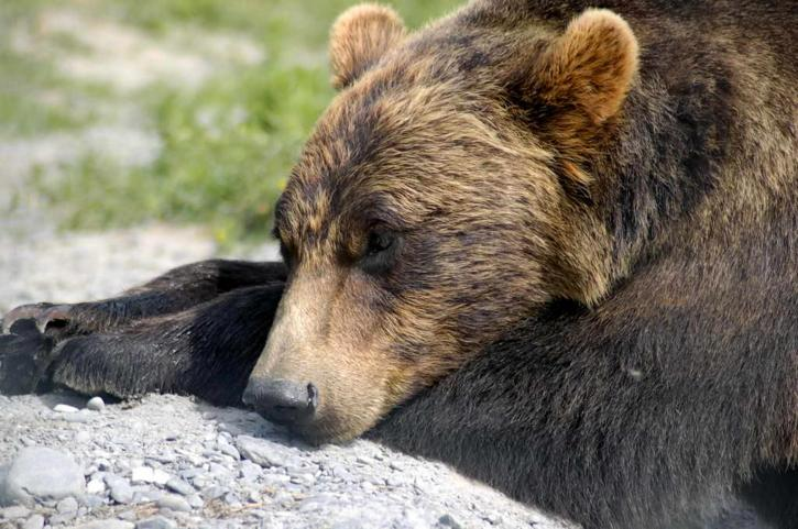 orso grizzly, sdraiato, testa, giù