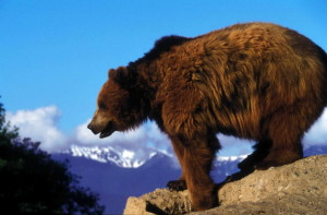 grizzly bear, rock, overlooking