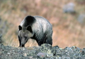 grizzly bear, mountain