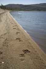grizzly bear, tracks, sand