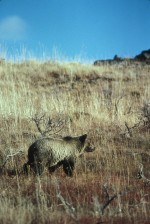 grizzly bear, walking, grass