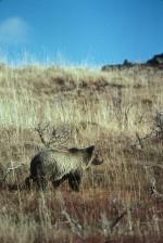 grizzly bear, walking, græs