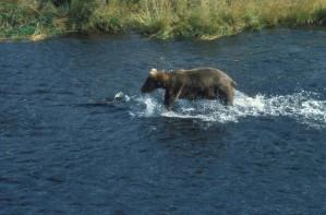 grizzly bear, gå, vand